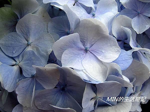 陽明山繡球花(35)