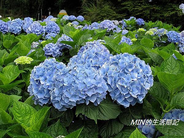 陽明山繡球花(36)