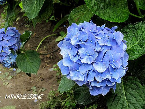 陽明山繡球花(37)