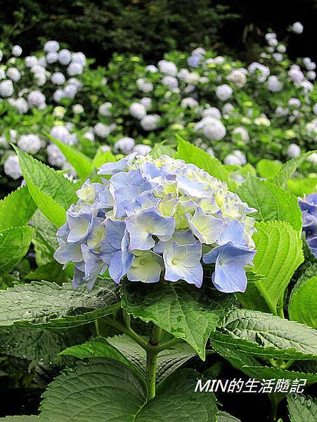 陽明山繡球花(38)