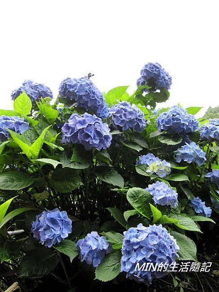陽明山繡球花(39)