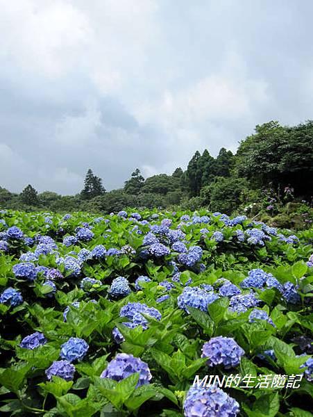 陽明山繡球花(40)