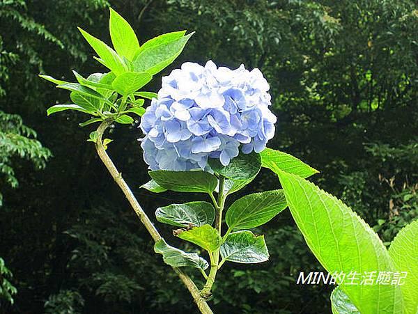 陽明山繡球花(42)
