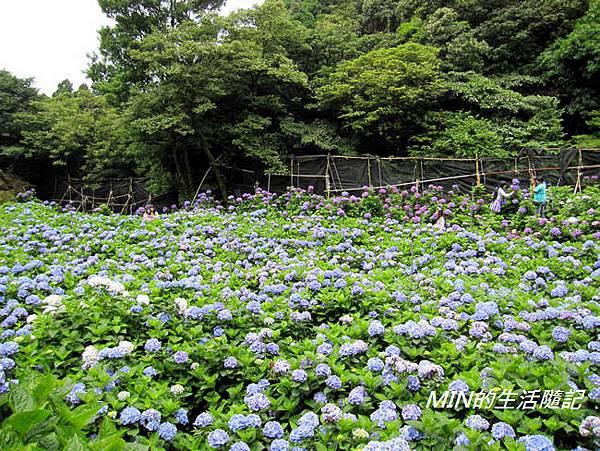 陽明山繡球花(43)