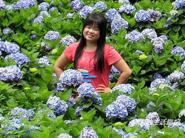 陽明山繡球花(44)