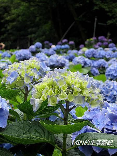 陽明山繡球花(45)
