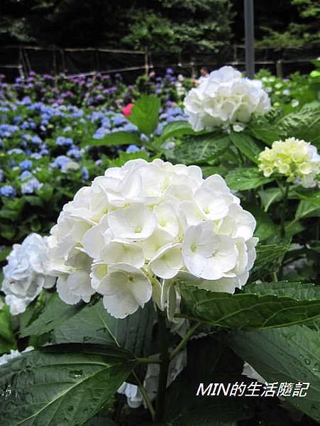 陽明山繡球花(46)