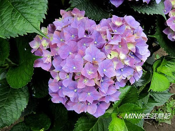 陽明山繡球花(49)