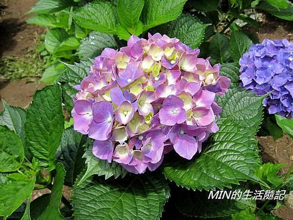 陽明山繡球花(50)