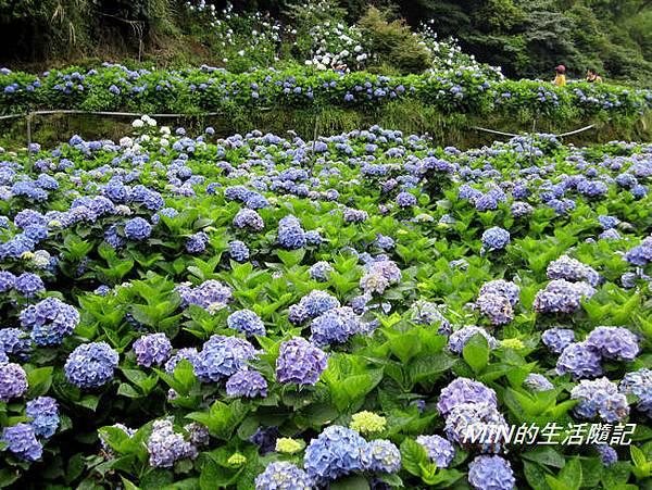 陽明山繡球花(52)