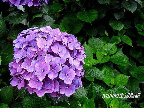 陽明山繡球花(53)