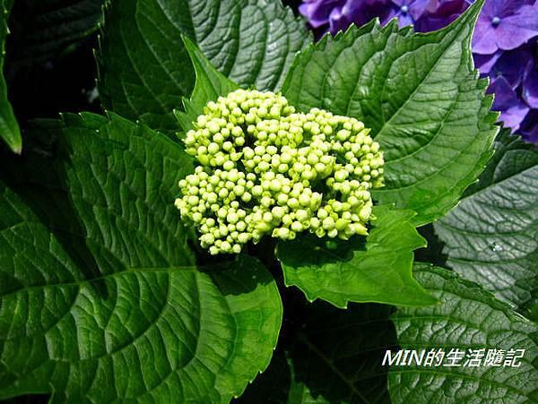陽明山繡球花(54)