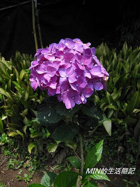 陽明山繡球花(55)