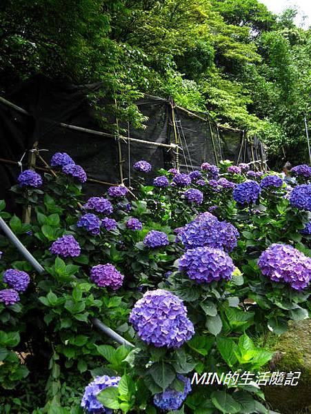 陽明山繡球花(57)