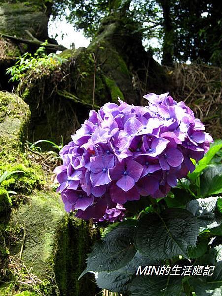 陽明山繡球花(58)