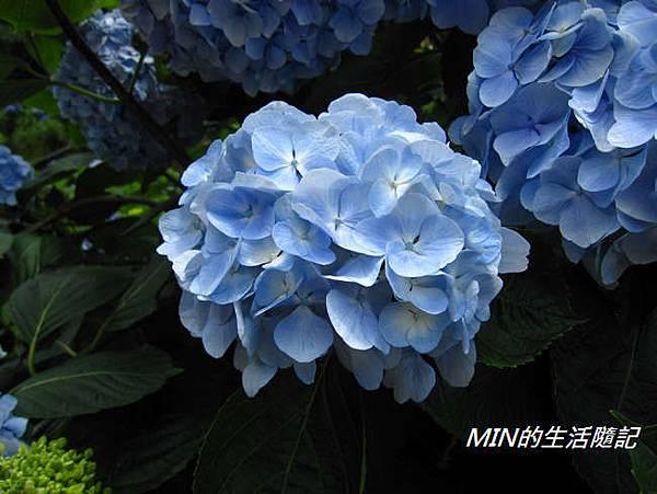 陽明山繡球花(60)