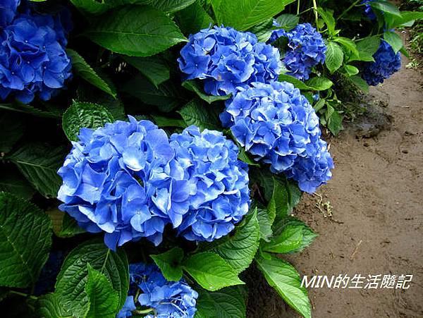陽明山繡球花(61)
