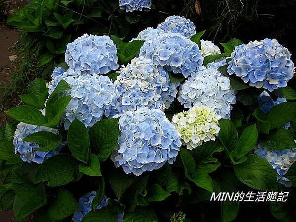 陽明山繡球花(64)