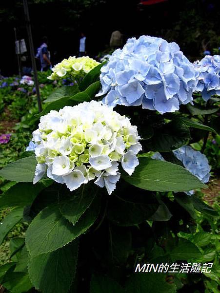陽明山繡球花(65)