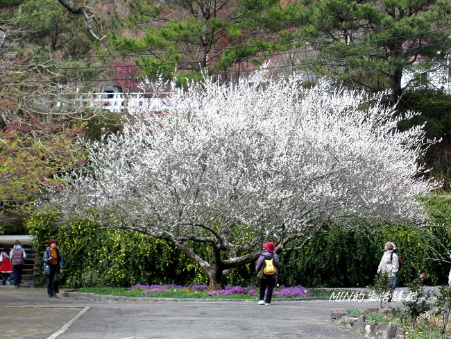 武陵農場賞櫻 (15).JPG