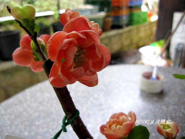 2011苗栗採果 (18).JPG