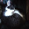 2009.02.01 肥嫩一坨貓