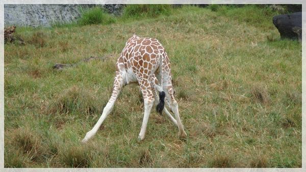任性的長頸鹿.JPG