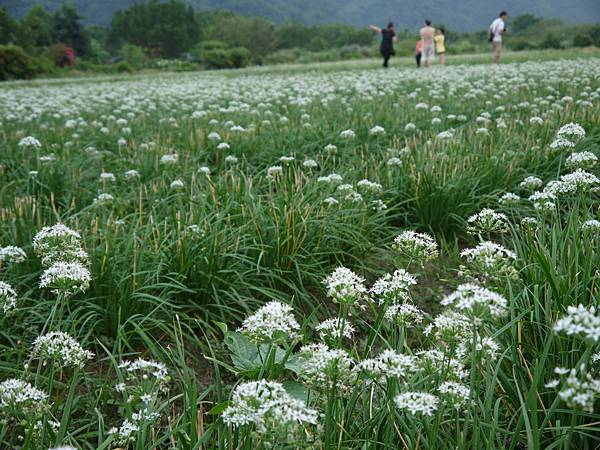 0929大溪中新里韭菜花季節