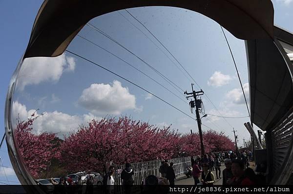 0129~2014平菁街寒櫻 (5).JPG
