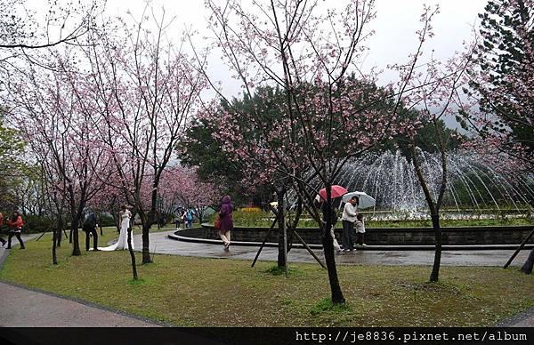 0214陽明山花季 077.JPG