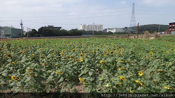 1028蘆竹花海 (4).JPG