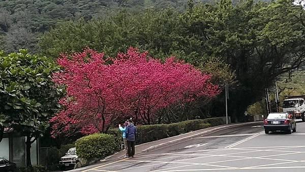 2015陽明山花季 (47)