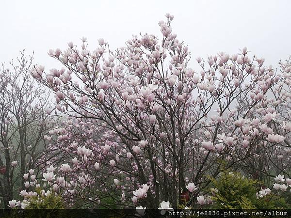 0225楓樹湖木蓮花  (18).JPG