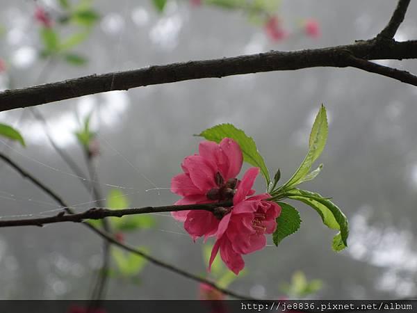 0225楓樹湖木蓮花  (6).JPG