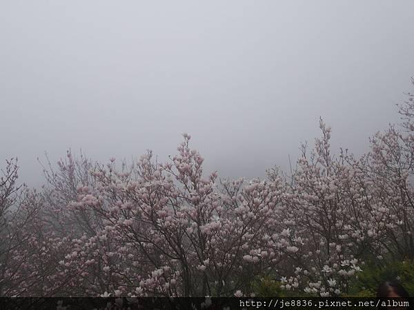 0225楓樹湖木蓮花  (17).JPG