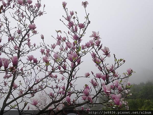 0225楓樹湖木蓮花  (21).JPG