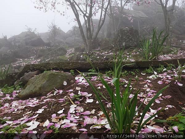 0225楓樹湖木蓮花  (72).JPG