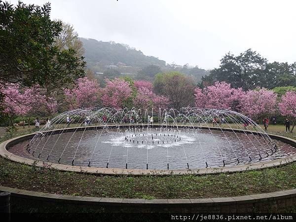 0225噴泉昭和櫻 (16).JPG