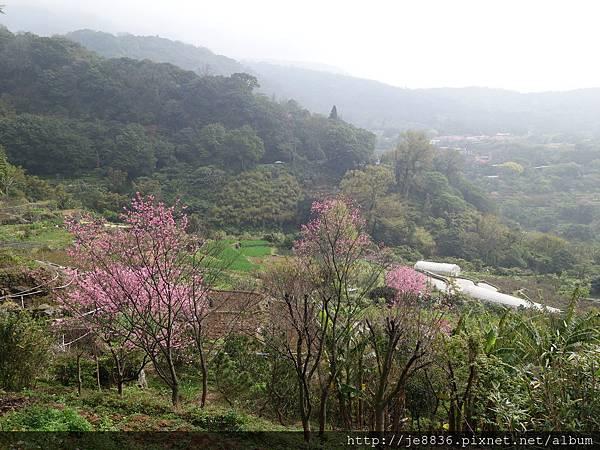 0225櫻花林 (2).JPG