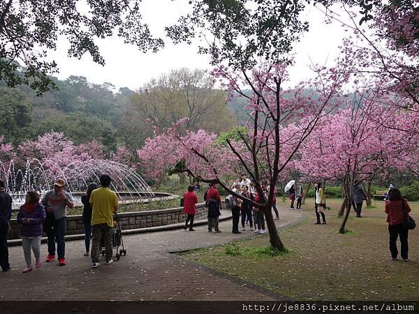0225噴泉昭和櫻 (2).JPG