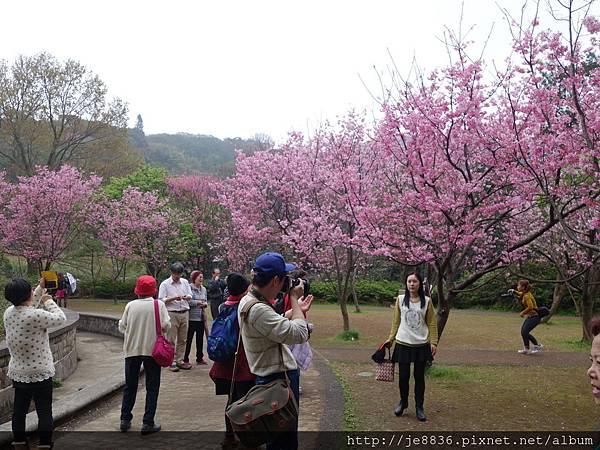 0225噴泉昭和櫻 (3).JPG