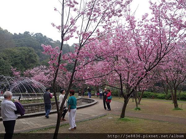 0225噴泉昭和櫻 (4).JPG