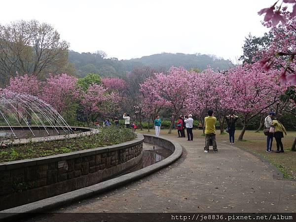 0225噴泉昭和櫻 (6).JPG