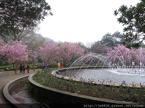 0225噴泉昭和櫻 (8).JPG