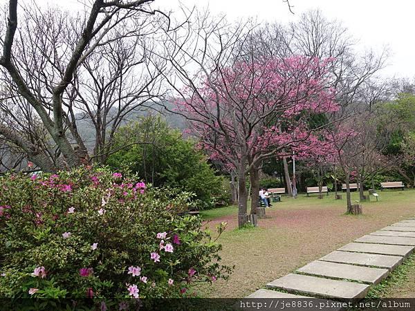 0225吉野櫻 (14).JPG