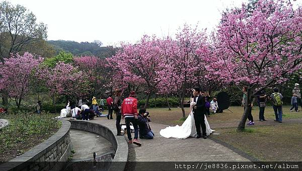 0226噴泉昭和櫻 (4).jpg