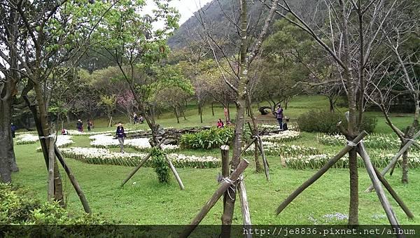 0226湖山綠地水仙 (2).jpg