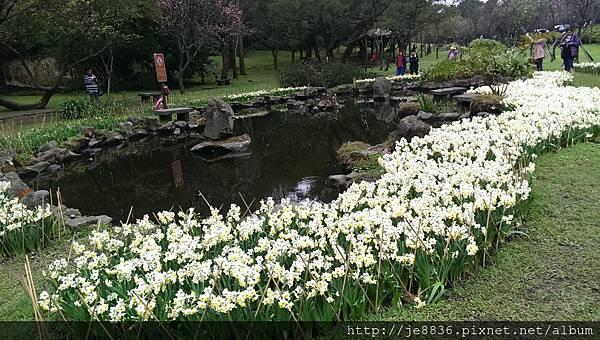 0226湖山綠地水仙 (13).jpg