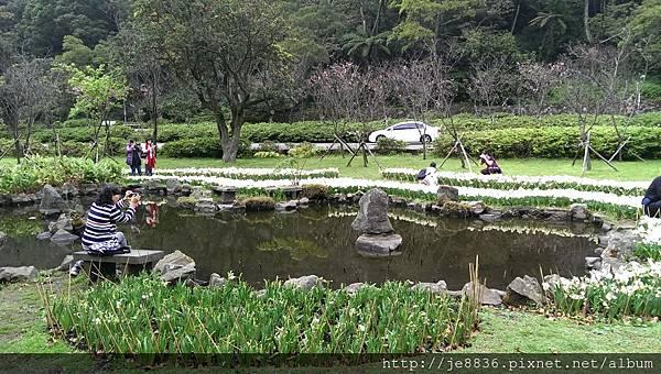 0226湖山綠地水仙 (15).jpg
