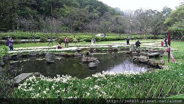0226湖山綠地水仙 (16).jpg